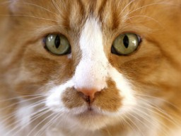 Vor allem Kinder leiden unter Katzenallergien: Rinnt ihnen die Nase, ...